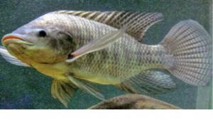 Morfologi Ikan Dinas Kelautan Dan Perikanan